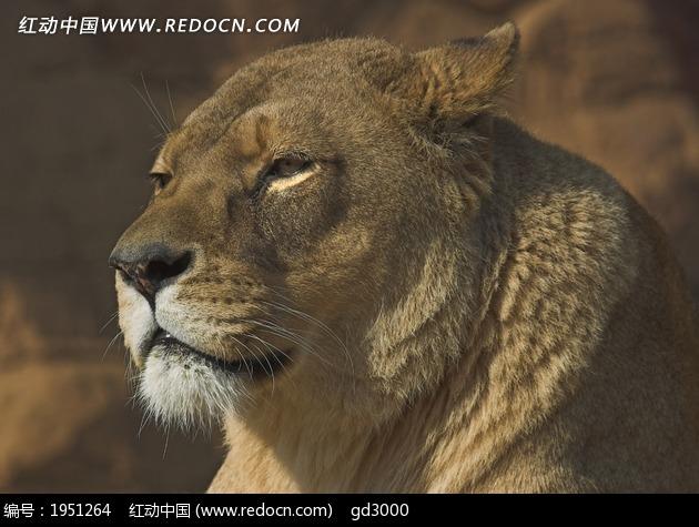 猫沉思的 母狮 高贵 休息 安详 野生 野生动物  动物  生物世界 野兽