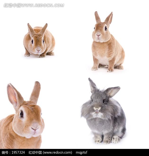 可爱的小兔子素材图片