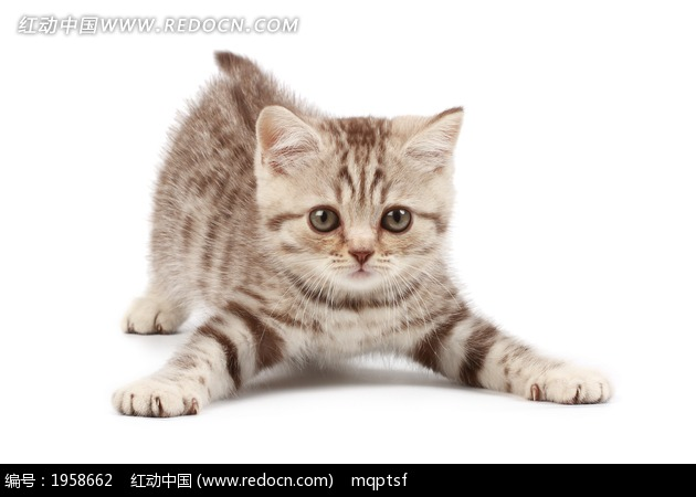 猫咪做操图片素材图片_陆地动物图片