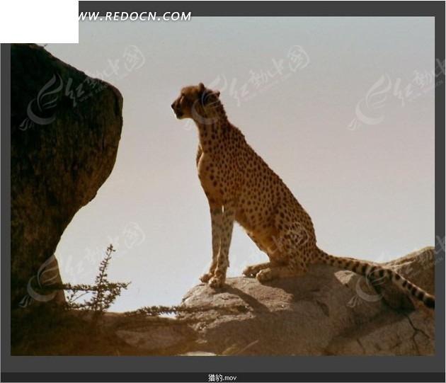 免费素材 视频素材 实拍素材 动物植物 动物世界视频 野外岩石上蹲坐
