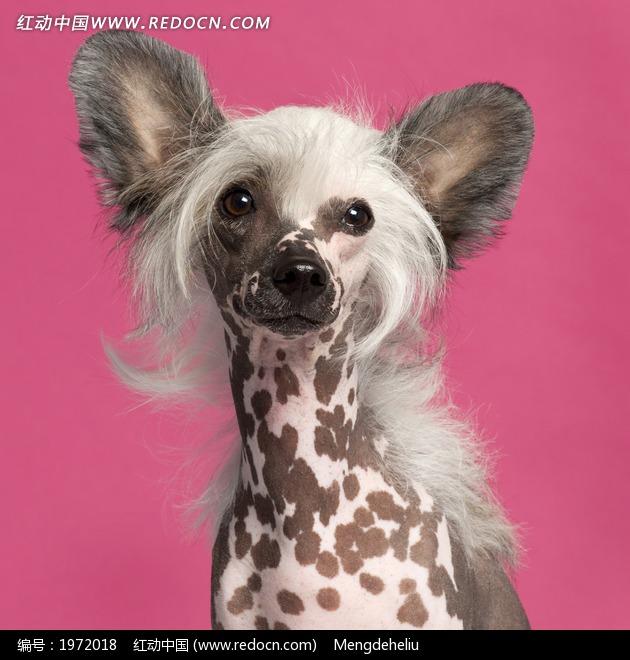 可爱超萌吉娃娃小狗摄影图片