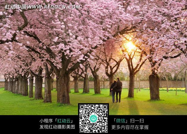 草地上的美丽樱花树和散步的情侣