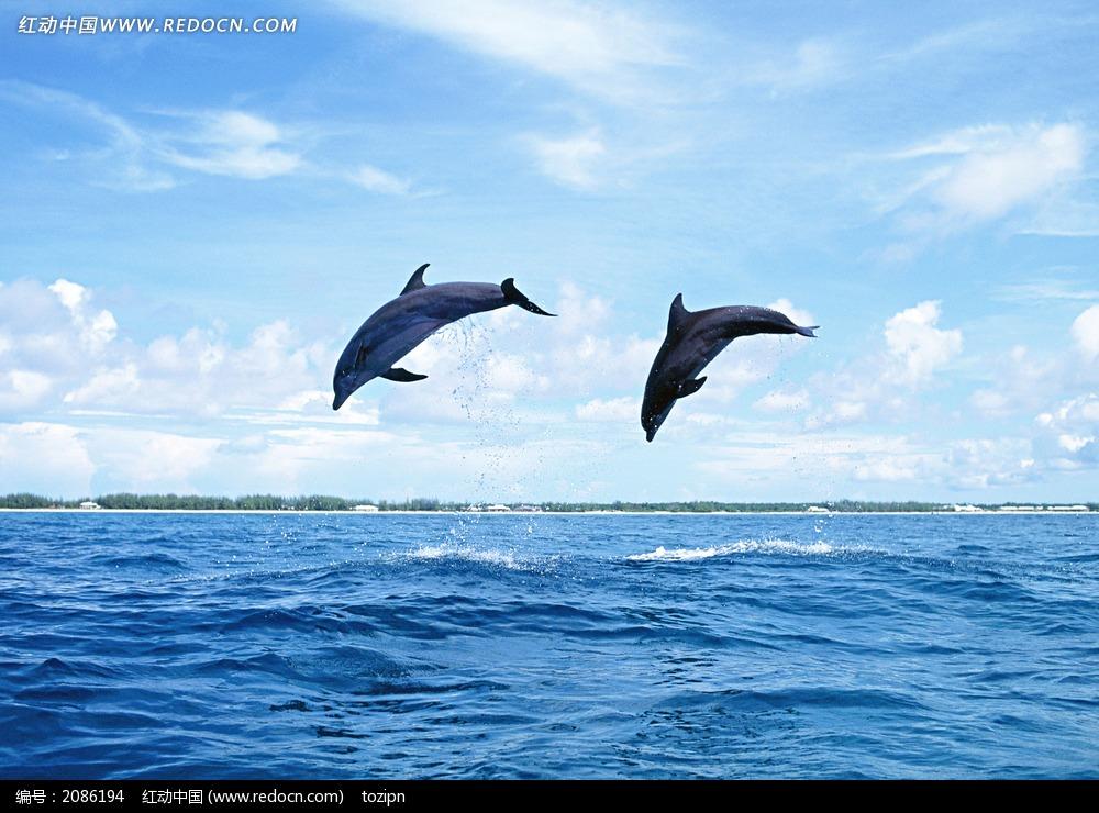 跳起来的海豚图片_水中动物图片