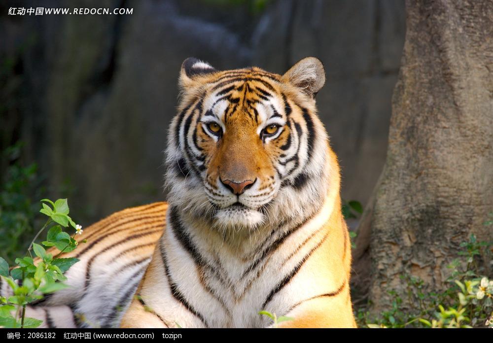 老虎_陆地动物图片