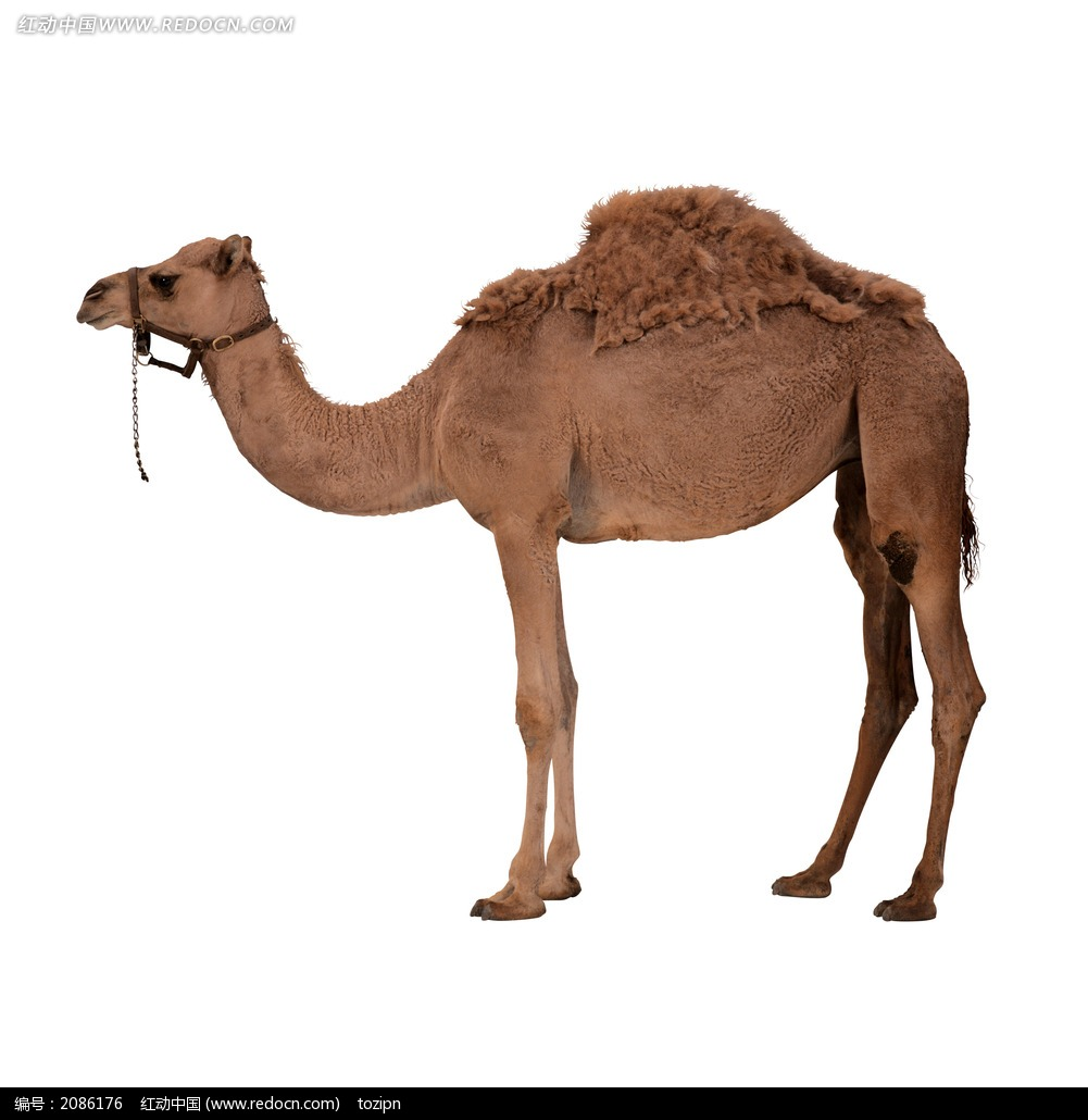 骆驼_陆地动物图片_红动手机版