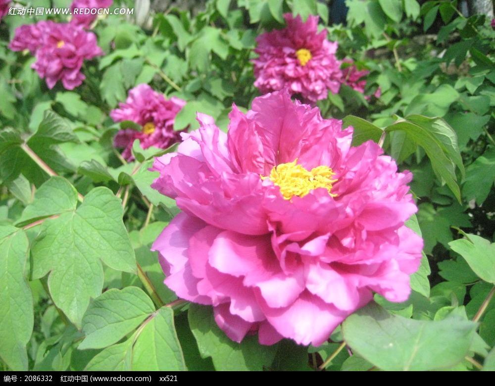 牡丹花花朵图片_花草树木图片