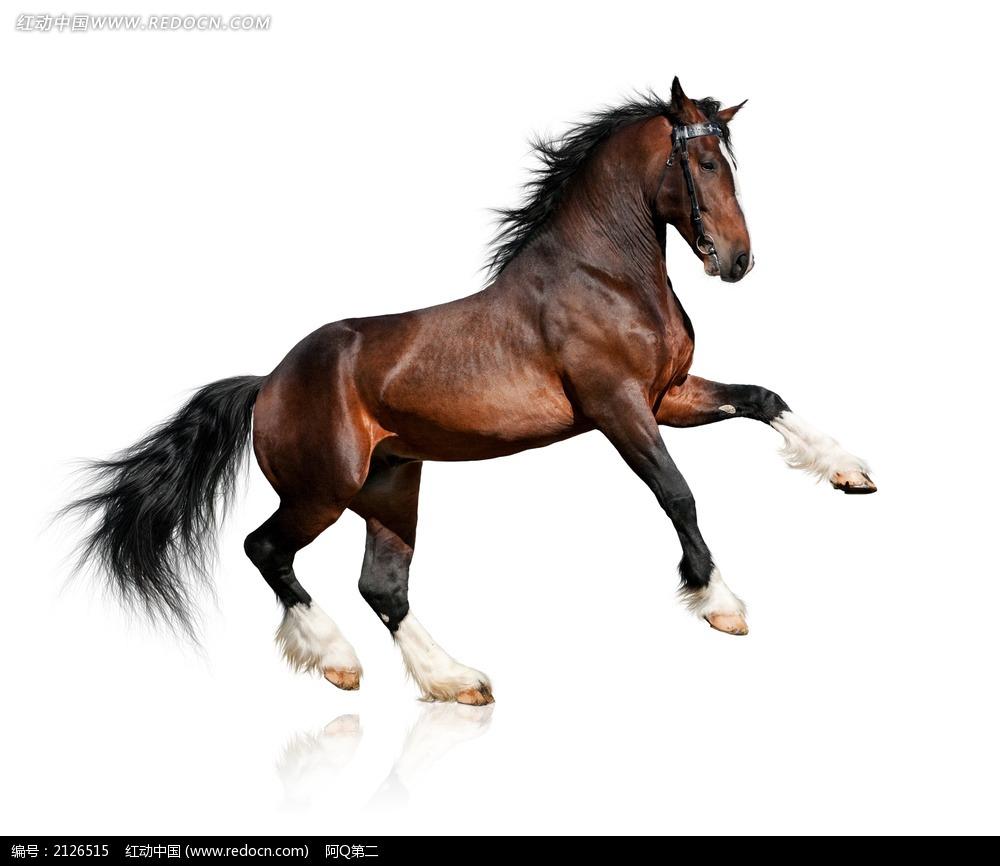 前蹄腾空的骏马图片_陆地动物图片