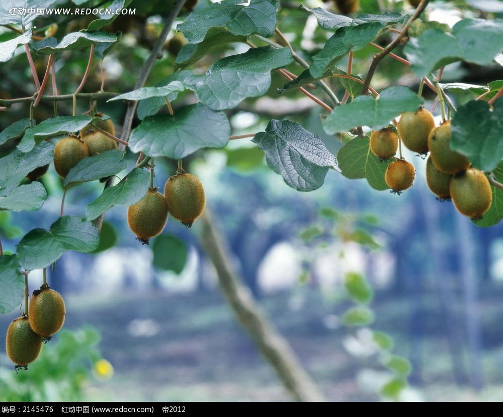 猕猴桃树图片图片