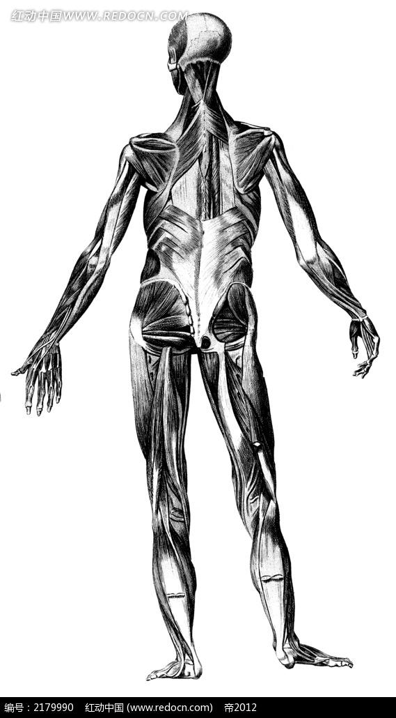 人体背面肌肉手绘插画jpg