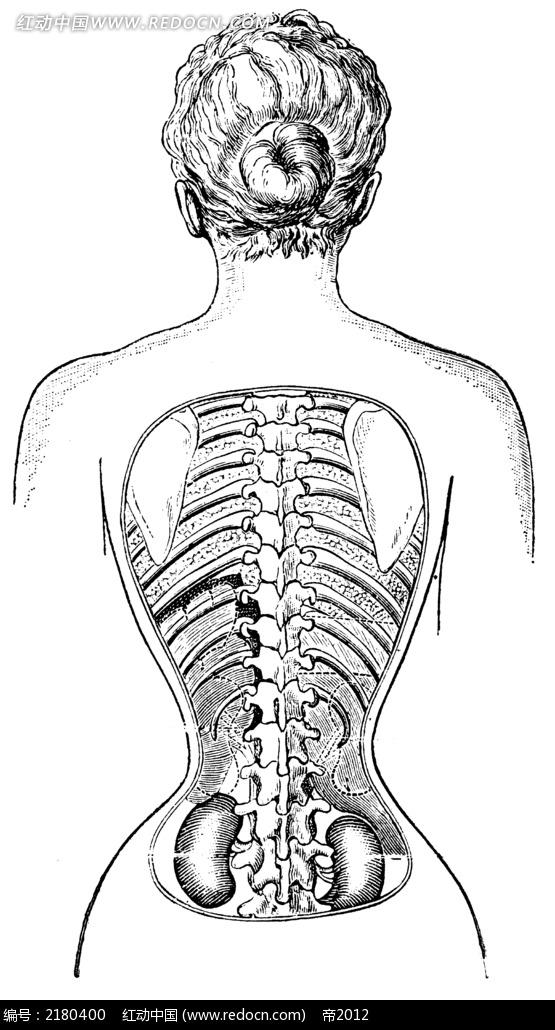 背部身体结构_女性内脏器官图_女性内脏器官分布图