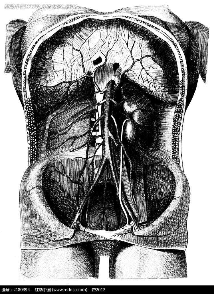 医学人体解剖图视频_人体下腹部器官 - www.iaieiw.com