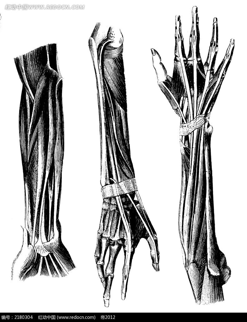 手骨解剖图