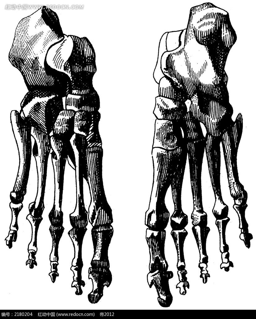 人体双脚掌骨骼手绘插画jpg