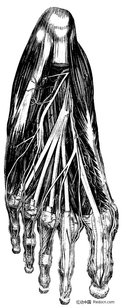 人体脚掌肌肉手绘插画jpg图片