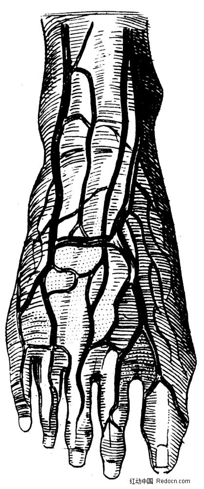 人体脚掌血管手绘插画jpg