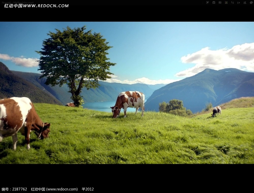 奶牛牧场自由风光视频
