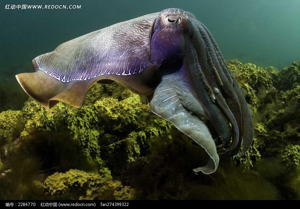 海底中的大乌贼图片_水中动物图片