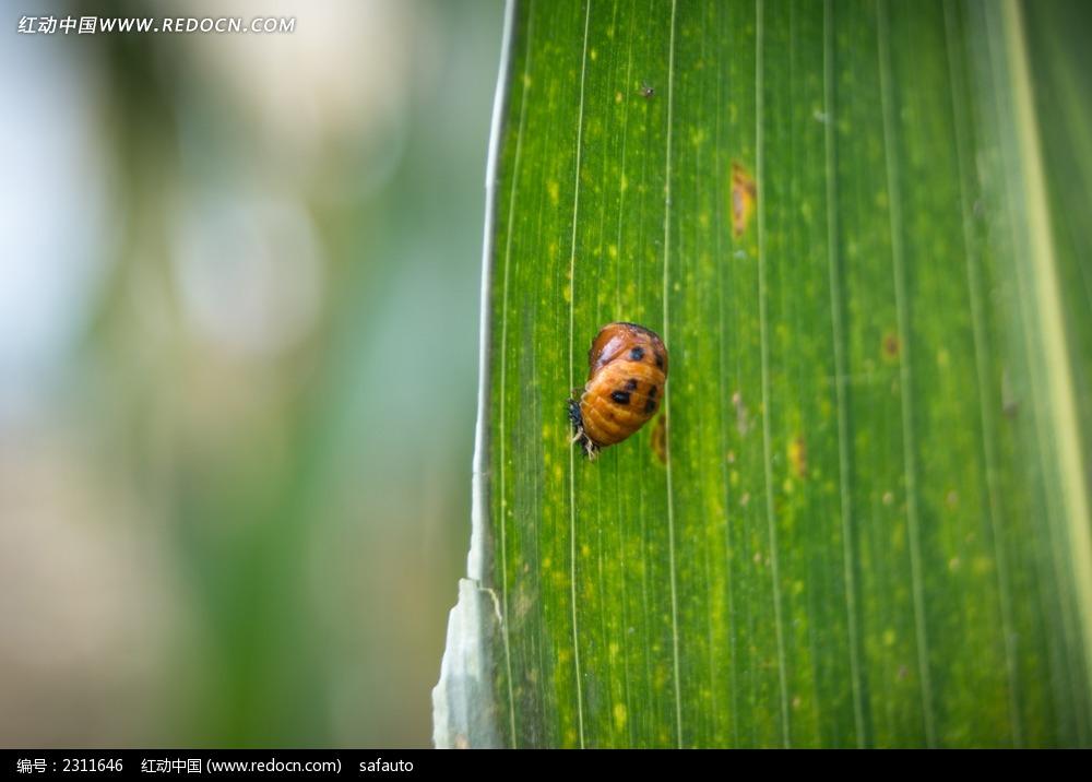 玉米叶上的昆虫