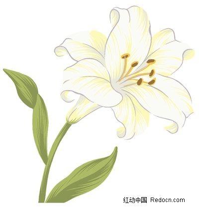 手绘白色百合花