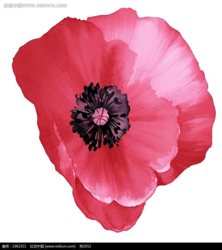 手绘红色罂粟花