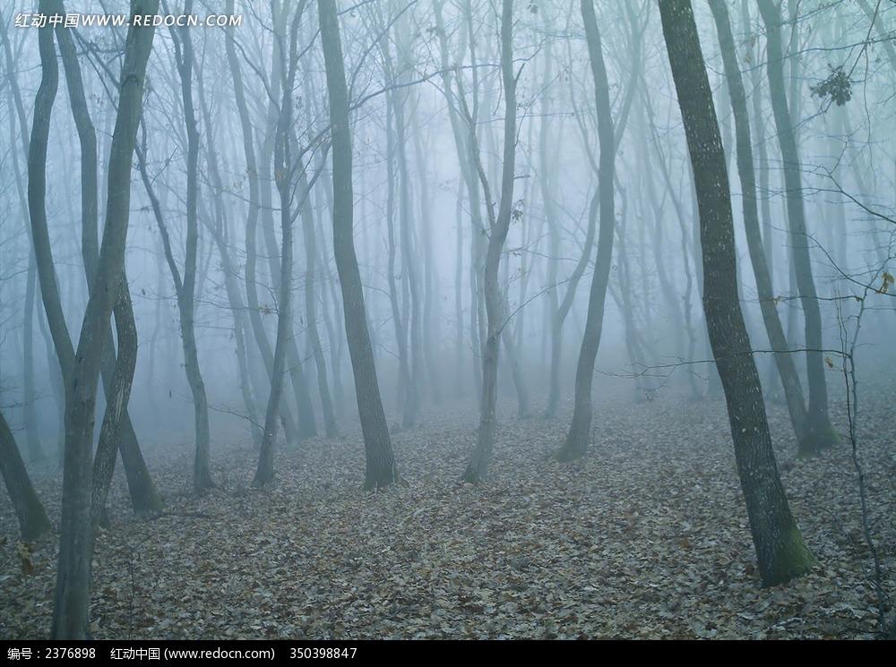 森林 迷雾 大树 树木 自然风光 风景图片 摄影图片