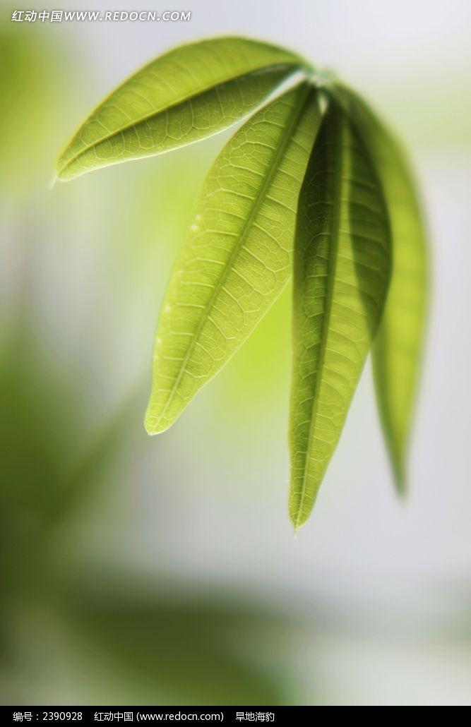 发财树叶子图片