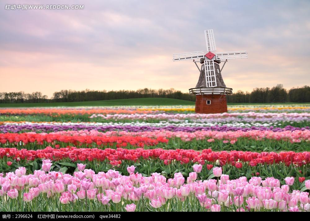 荷兰风车郁金香