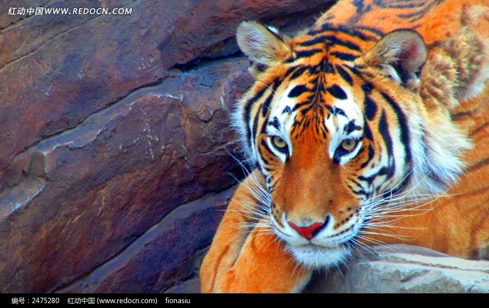 动物 野生动物 老虎 石头   动物图片 动物照片 摄影图片