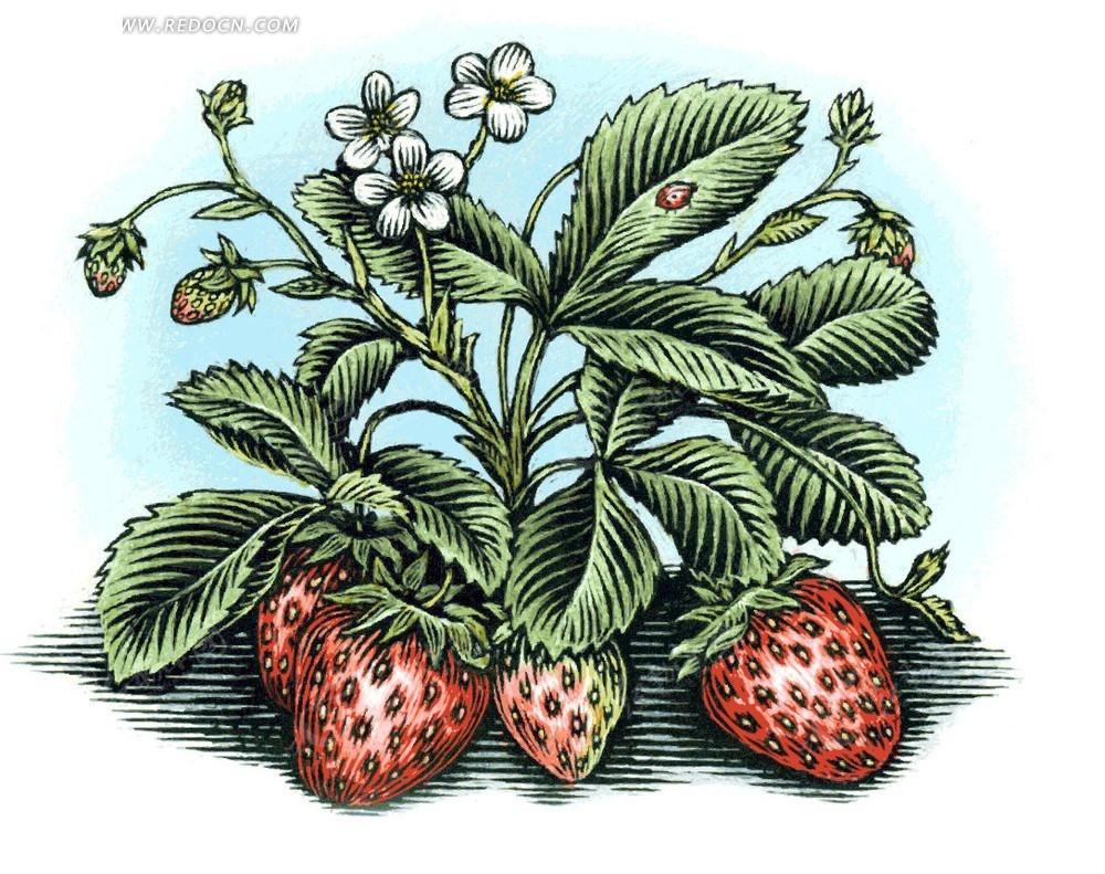 手绘草莓素材