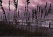 海边随风摆动的芦苇