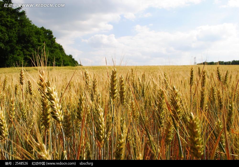高清麦子摄影