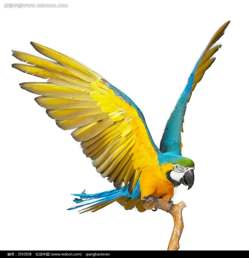 雅克鹦鹉手绘图