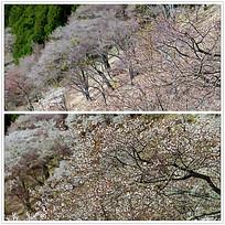 樱花树山坡视频