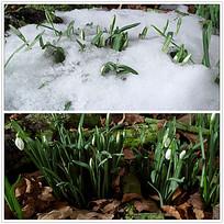 春季白雪消融视频