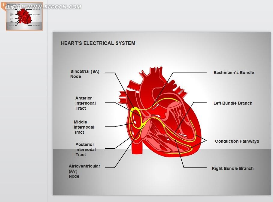 红色心脏解剖ppt素材