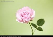 一只玫瑰花图片
