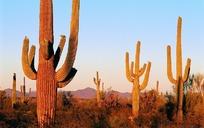 沙漠里的巨大仙人掌