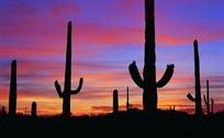 沙漠上黄昏时的仙人掌