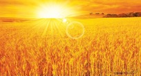夕阳下金色的麦田图片素材