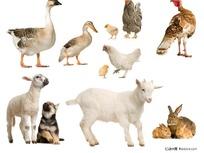 鸭鹅羊狗兔鸡动物高清素材