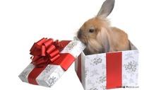 礼品盒中的可爱兔子