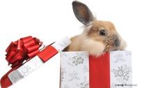 礼品盒子里的兔子