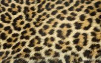 豹子皮毛纹理高清图片