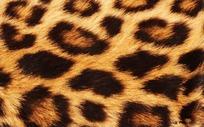 猎豹毛皮花纹高清图片