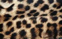 猎豹毛皮花纹图片