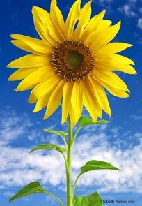 蓝天下的一支向日葵图片_花草树木图片
