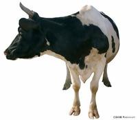 PSD奶牛素材