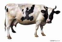 奶牛扣底图片