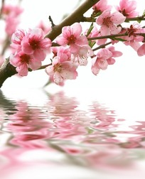 水面上盛开的梅花