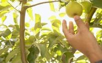 采摘树上的果实